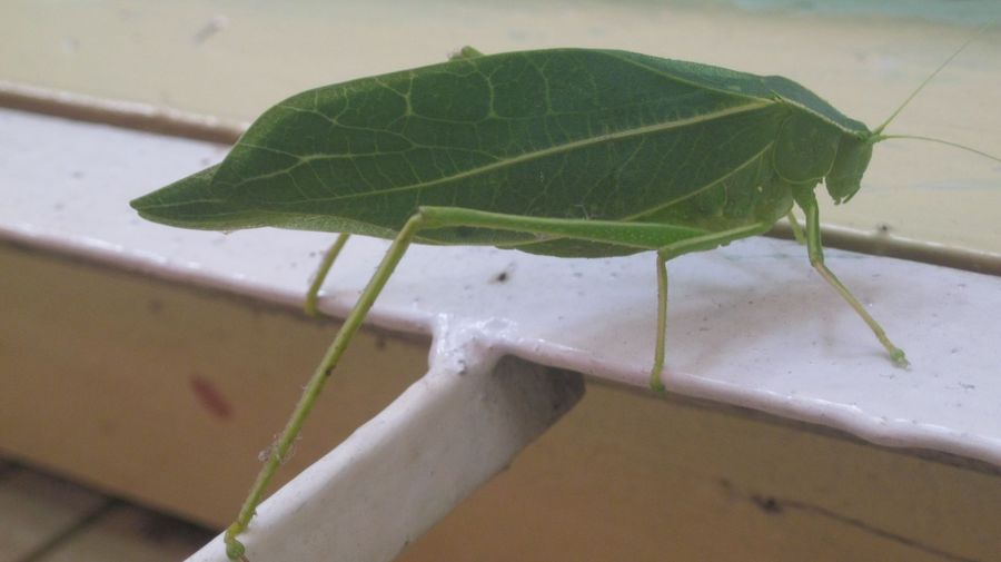 leaf insect  <span></span>