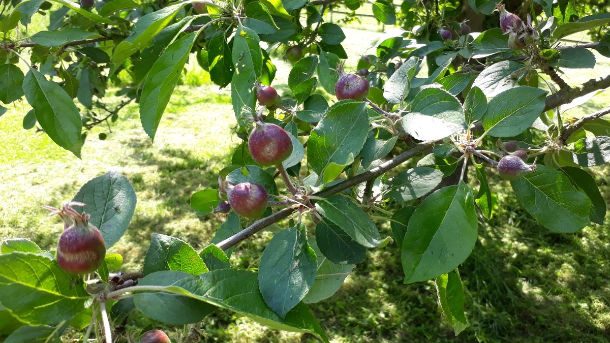 <span></span><div>What happened to the apples? Is that from the recent frost ?</div>