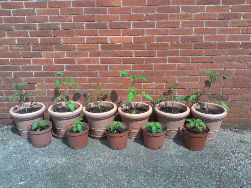 Tomatoe and Bell pepper - <span>plants and pots donated by Gertrude and Ralf</span>