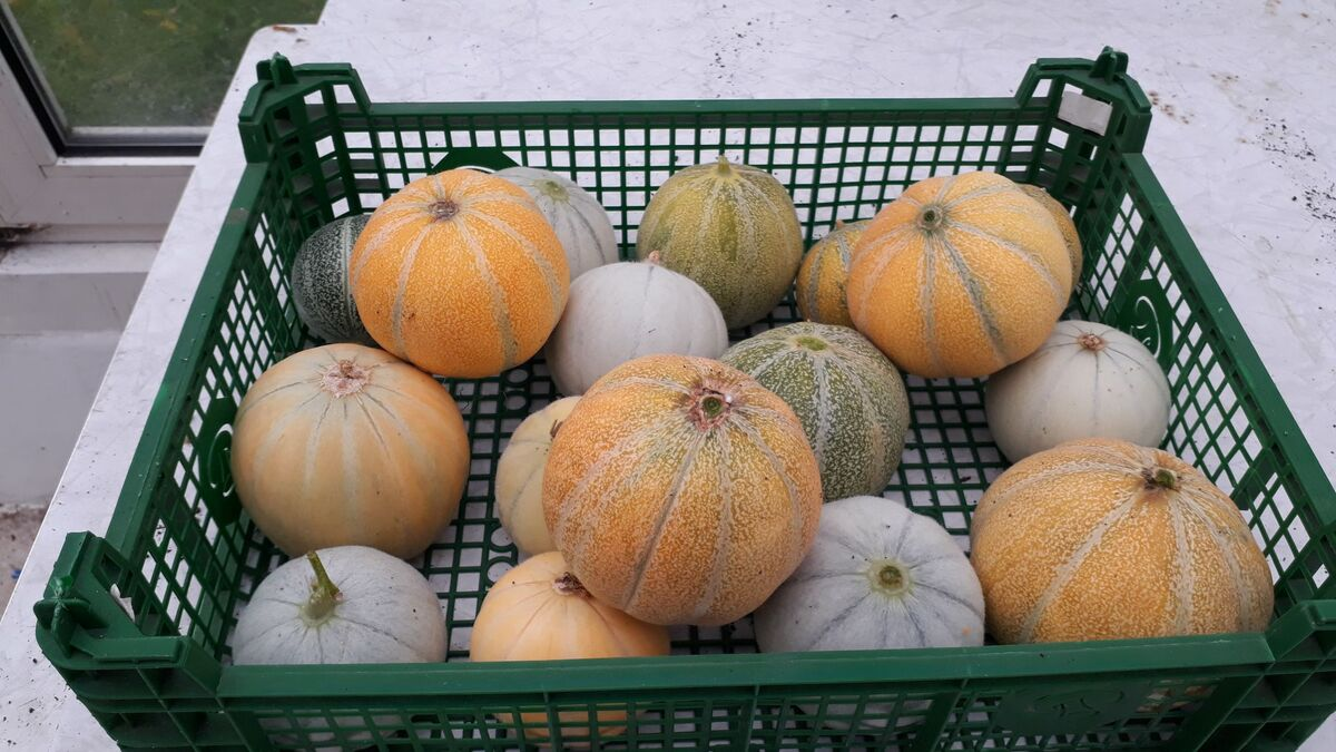 <span></span><div>Melon harvest, no a complete failure, but our weather is just too cold for this delicious fruit</div>