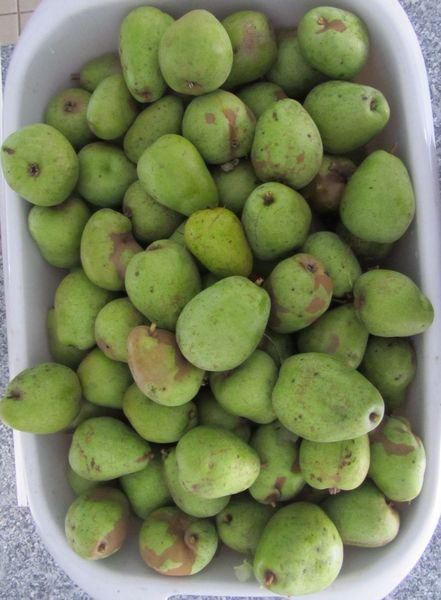 next in line - <span>mountains of pears</span><div>what an amazing harvest this year</div>